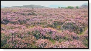 A field of Scottish heather